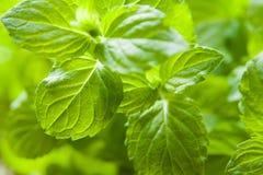 Mint plant Stock Photography