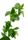 Mint Plant. Fresh mint plant isolated over white background stock images