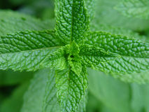 Mint Plant Royalty Free Stock Images