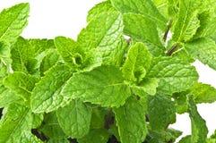 Mint plant Royalty Free Stock Photo