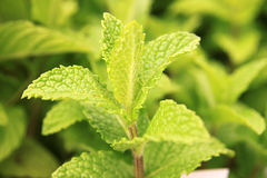 Mint plant Stock Photos