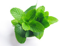 Mint plant. Fresh green mint plant close-up with white background stock image