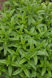 Mint plant background Stock Image