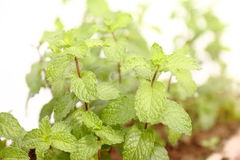 Mint Plant Stock Photo