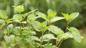 Mint plant in the garden. Close up of organically grown mint plant in the garden stock video