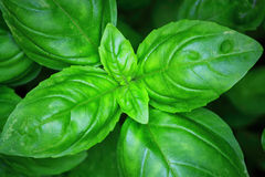 Green Basil Plant Stock Photos