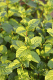 Mint plant. Stock Images