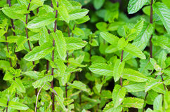 Mint plant grow Stock Photos