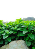 Mint plant grow Royalty Free Stock Photography