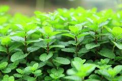 Mint plant grow at vegetable garden Stock Photos