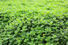Mint plant grow at vegetable garden Stock Images