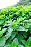Mint plant grow at vegetable garden Royalty Free Stock Images