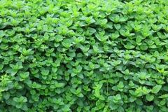 Mint plant grow at vegetable garden Royalty Free Stock Photos