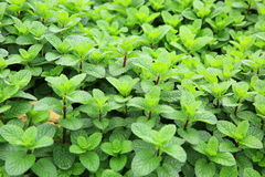 Mint plant grow at vegetable garden Stock Image