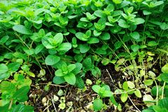 Mint plant grow at vegetable garden Royalty Free Stock Photography