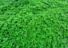 Mint plant grow at vegetable garden Stock Photography