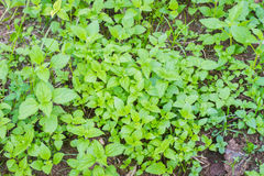 Mint plant grow at vegetable garden with soil Royalty Free Stock Photos