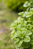 Mint plant grown at garden Stock Image