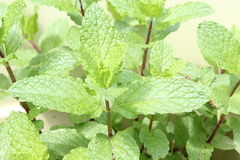 Mint plant. In herb garden Royalty Free Stock Images