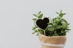 Mint plant herbs in burlap pot royalty free stock photography