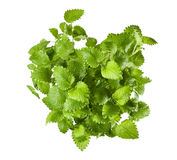 Mint plant isolated royalty free stock images