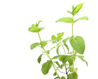 Mint plant isolated on white Royalty Free Stock Images