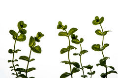 Mint plant isolated Stock Photography
