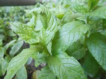 Mint Plant Leaves royalty free stock image
