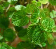 Mint Plant Royalty Free Stock Image