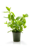 Mint plant in pot Stock Images