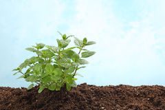 Mint plant in soil  on light blue Royalty Free Stock Photo