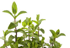 Mint Plant - spearmint Royalty Free Stock Image