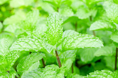 Mint Plant - Tea and herb. Stock Photography