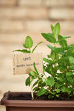 Mint plant on urban garden Stock Images
