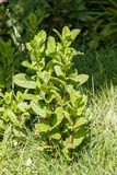 Mint plant in a vegetable garden Royalty Free Stock Image