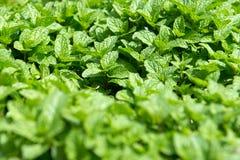 Mint plantation Stock Images