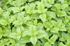 Mint plants Royalty Free Stock Image