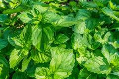 Mint plants. Fresh mint herbs/plants in the garden stock photos