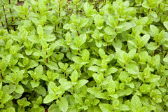 Mint plants in a garden Royalty Free Stock Image
