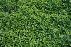 Mint plants Royalty Free Stock Photo