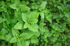 Mint. Plants with leaves in the garden Stock Images