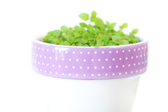 Mint in a pot Stock Images