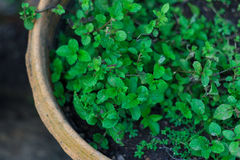 Mint in pot Royalty Free Stock Photos