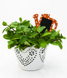 Mint in a  pot Stock Image