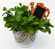 Mint in a  pot Stock Photography