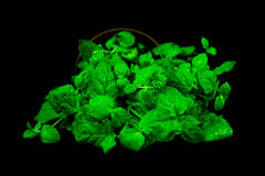 Mint in pot isolated on black bacground. Royalty Free Stock Photos