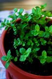Mint in a pot. Little mint plant in a pot Stock Photos