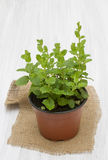 Mint in a pot Royalty Free Stock Photo