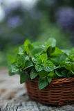 Mint  in small basket on natural wooden background, peppermint, Royalty Free Stock Images