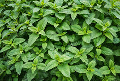 Mint spearmint plant green leaf. Growing royalty free stock image